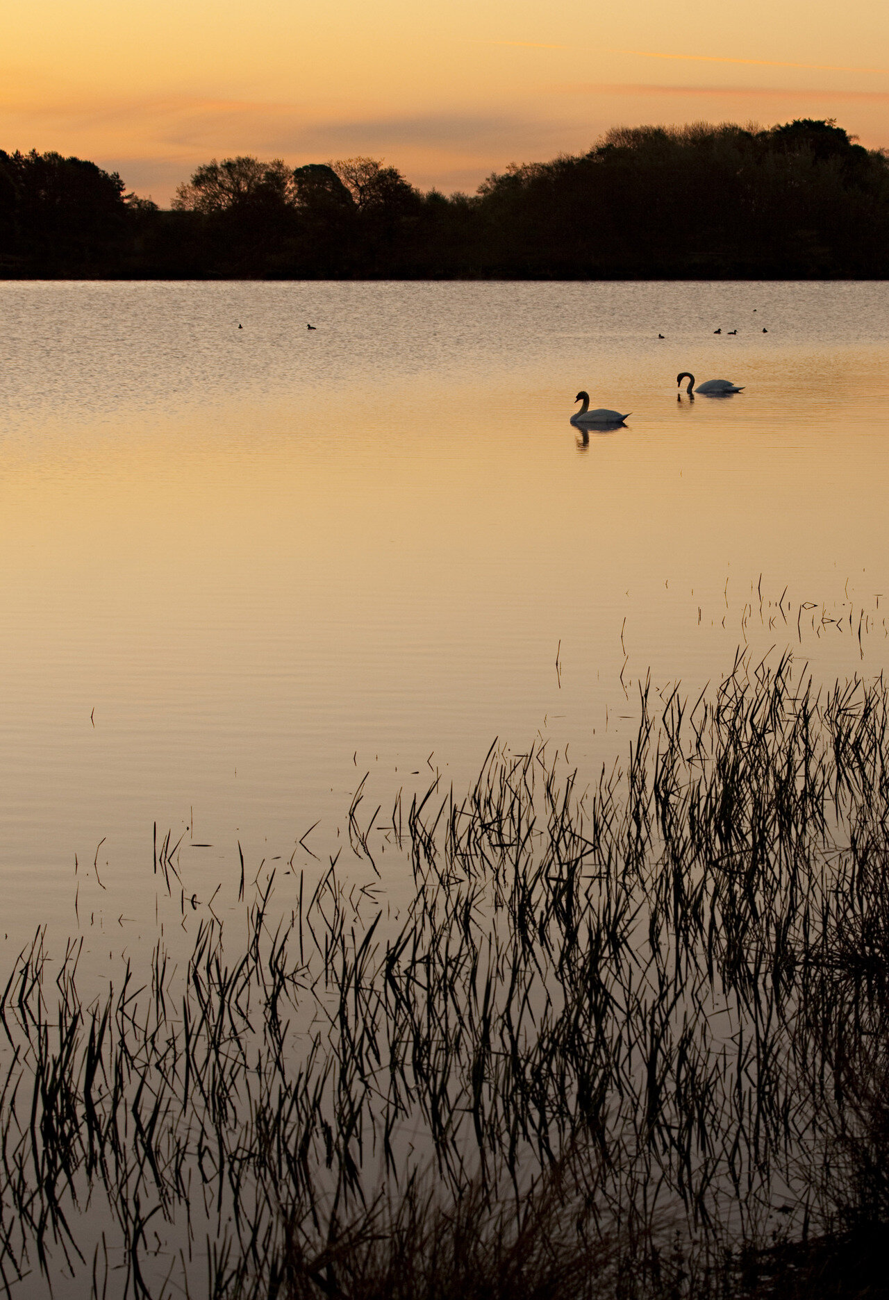 Swans at Sunrise on Harnham Lake