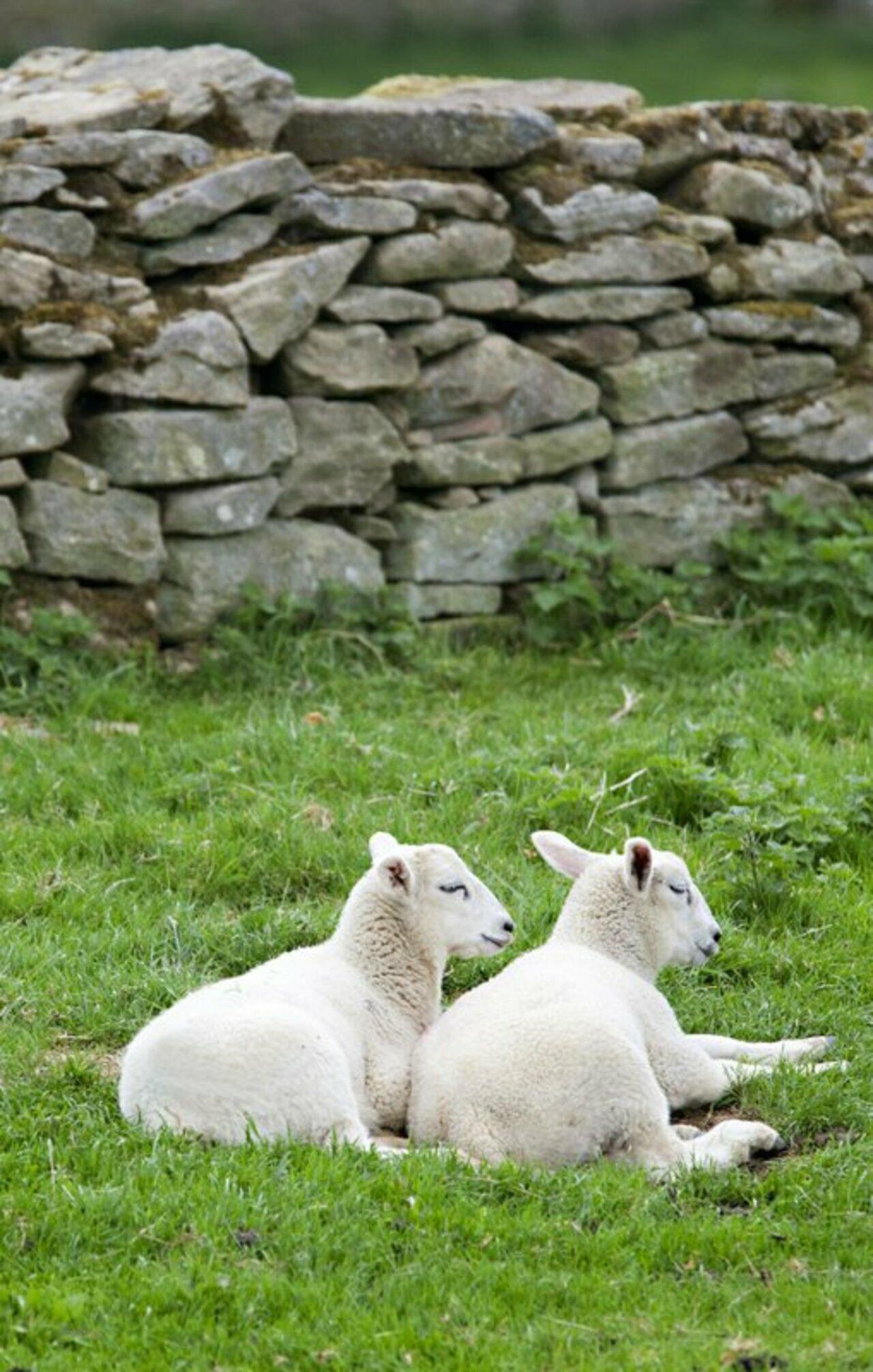 Lambs on Harnham Hill