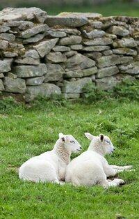 Lambs%20small